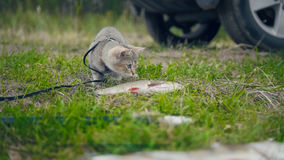 British shorthair cat walking near spear fishing - plays with Freshwater Fish at grass in camping Royalty Free Stock Images