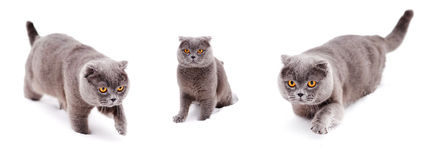 British shorthair cat at snow Royalty Free Stock Images