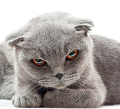 British Shorthair cat Stock Photography