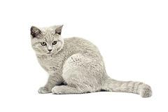 British shorthair cat on the white background isolated Royalty Free Stock Photos