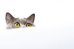 British shorthair cat on a white background Stock Image