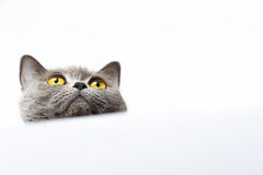 British shorthair cat on a white background Stock Photo