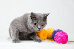 British shorthair cat on white background Stock Photos