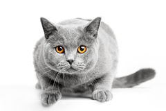 British Shorthair cat on white. Hunting royalty free stock image