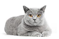 British Shorthair cat  on white. Lying Stock Photo