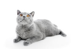 British Shorthair cat  on white. Lying Royalty Free Stock Photography