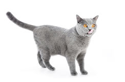 British Shorthair cat on white. Standing royalty free stock image