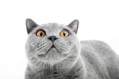 British Shorthair cat  on white. Surprised Stock Photo