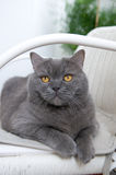 British Shorthair Cat in White Wicker Chair Royalty Free Stock Image