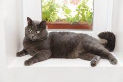 British shorthair cat on window. Adorable cat Stock Photos