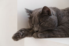 British shorthair cat on window Royalty Free Stock Image
