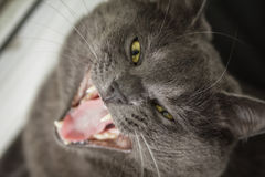 British shorthair cat yawning Royalty Free Stock Photos
