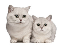British Shorthair cats, 1 and 6 years old. In front of white background Stock Photo