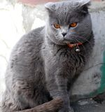 British cat in a red collar. British shorthair - shorthair cats. As a rule, they are strong and strong cats. There are medium to large sizes. According to legend royalty free stock photography