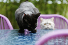 British Shorthair cats Stock Photos