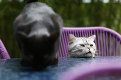 British Shorthair cats Stock Photo