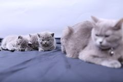 Mother cat loving her kittens. British Shorthair cats family portrait, white background stock photos