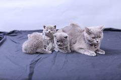 Mother cat loving her kittens. British Shorthair cats family portrait, white background stock photography