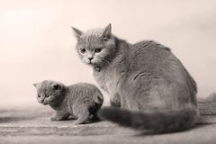 Mother cat loving her kitten. British Shorthair cats family portrait, wooden background stock images