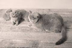 Mother cat loving her kittens. British Shorthair cats family portrait, wooden background stock images
