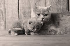 Mother cat loving her kittens. British Shorthair cats family portrait, wooden background stock image
