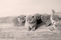Mother cat loving her kittens. British Shorthair cats family portrait, wooden background stock photos