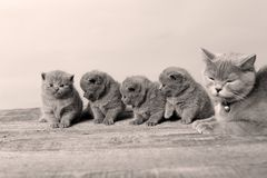 Mother cat loving her kittens. British Shorthair cats family portrait, wooden background royalty free stock photo