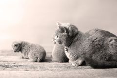 Mother cat loving her kittens. British Shorthair cats family portrait, wooden background royalty free stock image