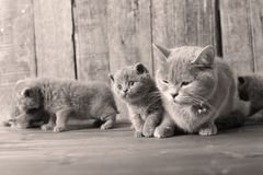 Mother cat loving her kittens. British Shorthair cats family portrait, wooden background royalty free stock photography