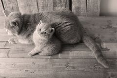 Mother cat loving her kittens. British Shorthair cats family portrait, wooden background, view from above stock images