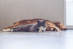 British shorthair cats and Golden Retriever Stock Image