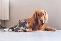 British shorthair cats and Golden Retriever Stock Photography