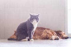 British shorthair cats and Golden Retriever Stock Images