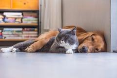 British shorthair cats and Golden Retriever Stock Photos