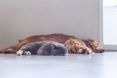 British shorthair cats and Golden Retriever Royalty Free Stock Photo