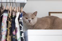 British shorthair cats at house. Portrait of british shorthair cats in various rooms of the house. Big yellow eyes Stock Photos