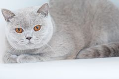 British shorthair cats at house. Portrait of british shorthair cats in various rooms of the house. Big yellow eyes Stock Images