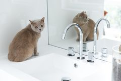 British shorthair cats at house. Portrait of british shorthair cats in various rooms of the house. Big yellow eyes Stock Photo