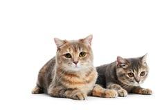 British Shorthair cats isolated Stock Photos
