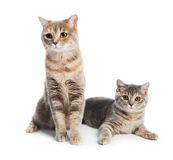 British Shorthair cats isolated Royalty Free Stock Images