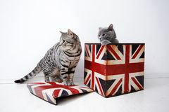 British Shorthair cats Stock Photos