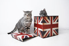 British Shorthair cats Royalty Free Stock Photos