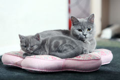 British shorthair cats Stock Photography