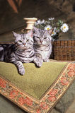 British shorthair cats Royalty Free Stock Photo