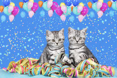 British shorthair cats with streamers Royalty Free Stock Image