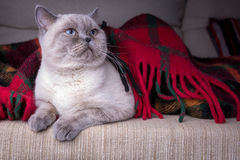 British shorthair colorpoint cat Stock Photos