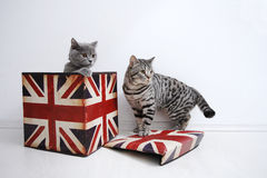 British Shorthair couple cats. British Shorthair male and female cat playing in a Union Jack box Royalty Free Stock Images
