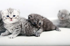 British Shorthair cute babies Royalty Free Stock Photography