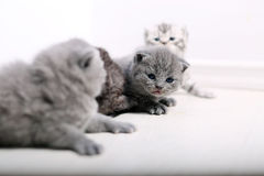 British Shorthair cute babies Stock Images