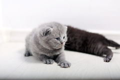 British Shorthair cute babies Royalty Free Stock Photos